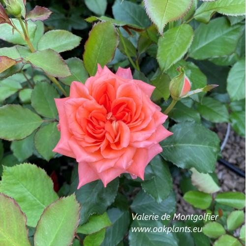 Роза Valerie de Montgolfier