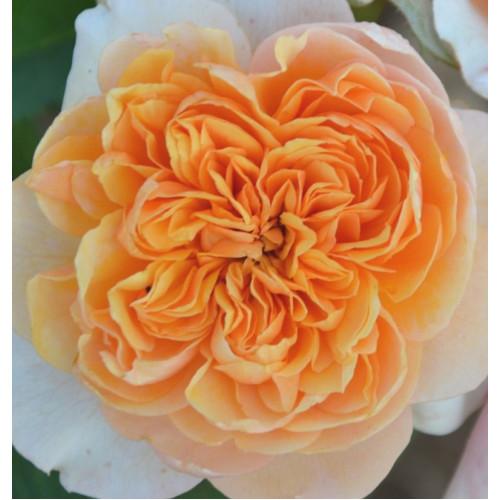 Роза Versigny