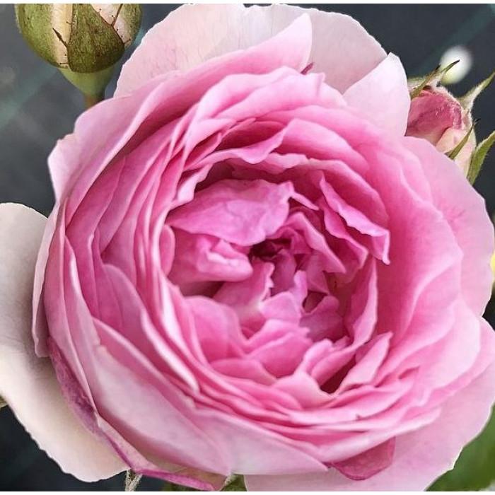 Роза Vesalius