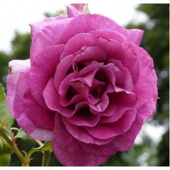 Роза Violette Parfumee