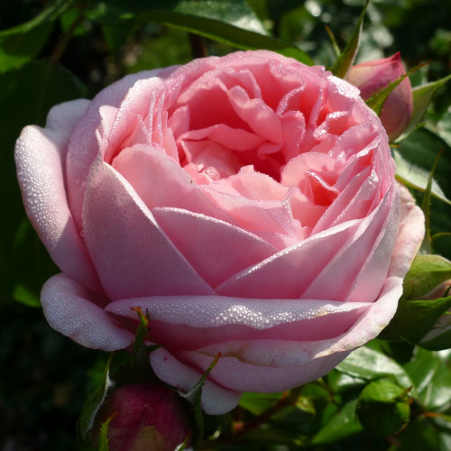Роза Voyage