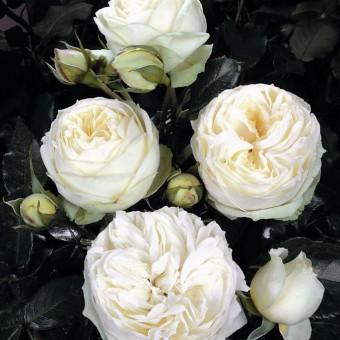 Rose Wedding Piano