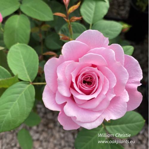 Роза William Christie