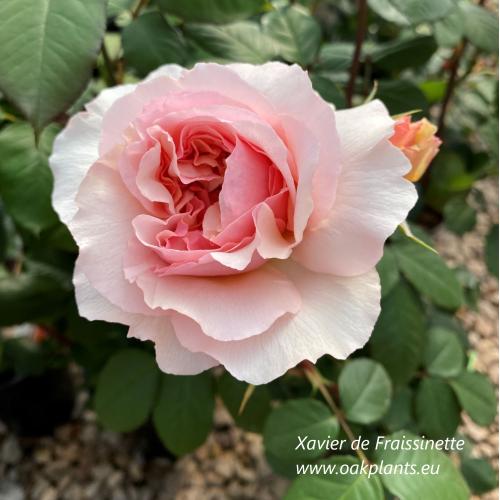Роза Xavier de Fraissinette