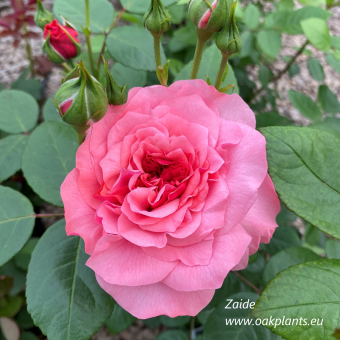 Роза Zaide