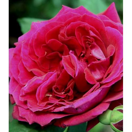 Роза Zayed of Abu Dhabi