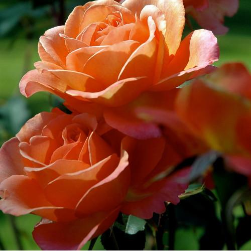 Роза Albrecht Dürer Rose