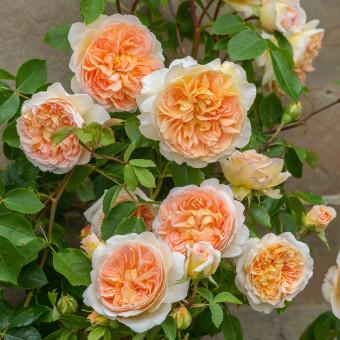Роза Bathsheba
