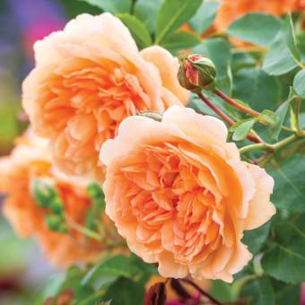 Роза Dame Judi Dench