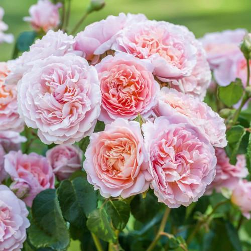 Роза Eustacia Vye