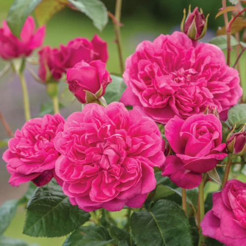 Роза James L. Austin