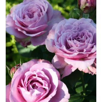 Роза Lavender Ice