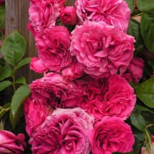 Роза Maritim
