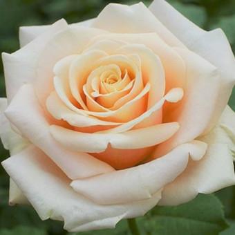 Роза Paul Ricard