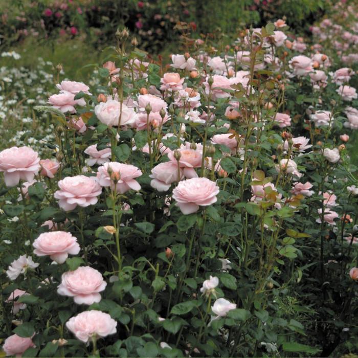 Роза Queen Of Sweden