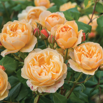 Роза Roald Dahl