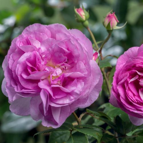 Роза Saphir
