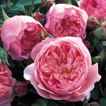 Роза The Alnwick Rose