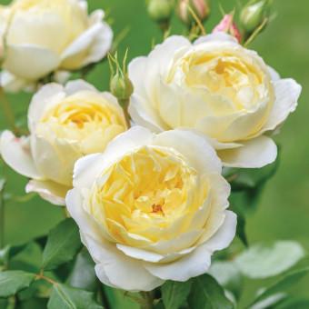 Роза Vanessa Bell
